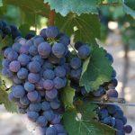 barbatelle innestate nero di troia uva vino