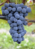 Barbatelle Innestate Barbera