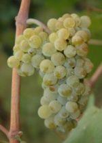 Barbatelle Innestate Pinot Bianco