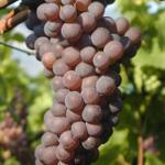 Barbatelle Innestate Pinot Grigio